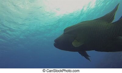 Humphead Wrasse, Napoleonfish Or Napoleon Wrasse Swimming Under Dive Boat Silhouette