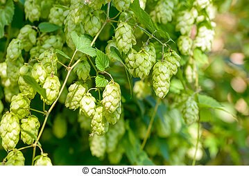 Humulus Lupulus Flowers, Also Called Hops - Female flowers...