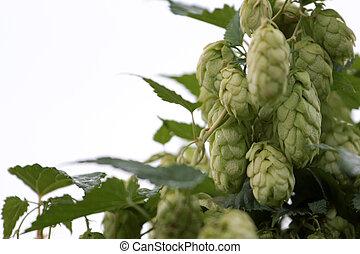 Humulus lupulus - climbing plant Humulus as element of the...