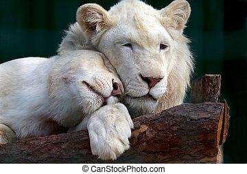 hun, lioness, anderen, witte , zacht, hoofden, drukken, leeuw, elke
