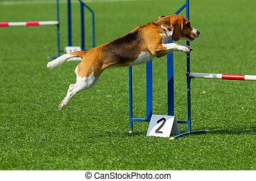 hund, an, der, behendigkeit, konkurrenz