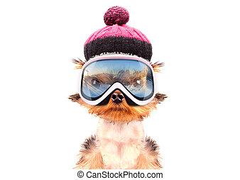 hund, angezogene , als, skier