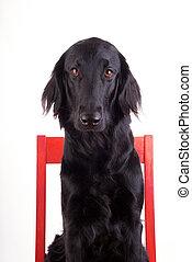 hund, auf, a, stuhl
