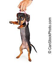 hund, Auf, Geschirr, Eigentümer, pflückend, junger Hund
