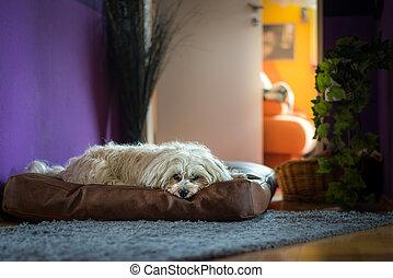 Hund auf seinem Platz - Ein kleiner weißer Hund liegt auf...