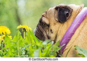 hund, av, den, mops, breed., den, hund, promener, på, den, grön gräsmatta
