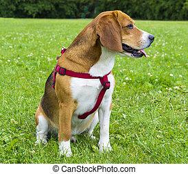 hund, beagle, auf, grün, grass., closeup, beagle., beagle, hunden, porträt