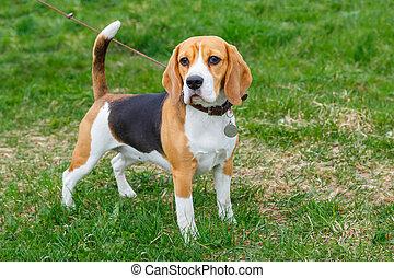 hund, beagle, rasse, stehende , auf, der, grünes gras