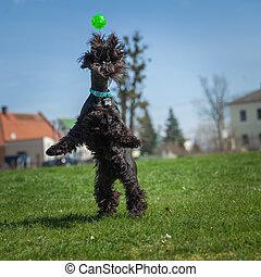hund, behendigkeit, auf, greenfield, übungen, mit, trainer