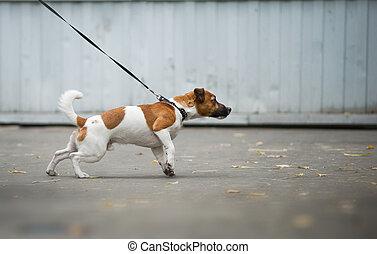 hund, dragande, den, koppel, på, a, gå