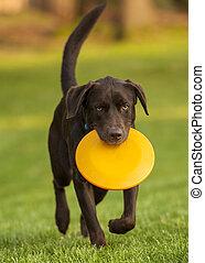 hund, frisbee