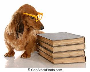 hund, gehorsam, -, miniatur, dachshund, sitzen, neben,...