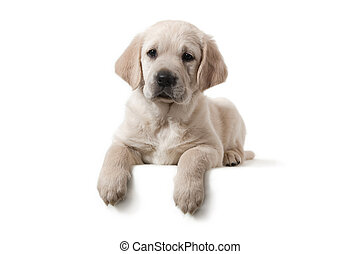 hund, -, goldener apportierhund, junger hund