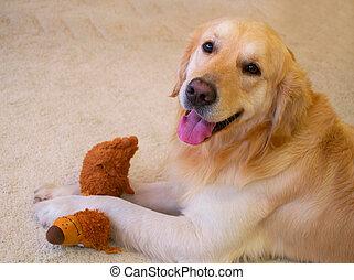 hund, goldener apportierhund