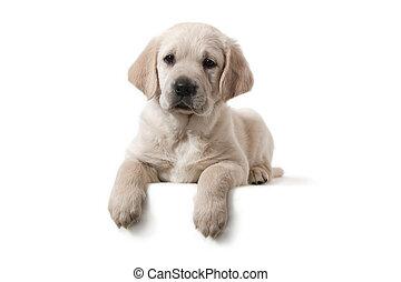 hund, -, guldgul apportör, valp