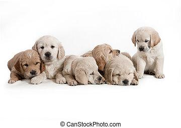 hund, -, guldgul apportör, valpar