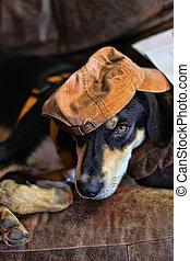 hund, hatt