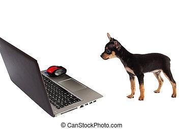 hund, hintergrund, junger hund, freigestellt, front, weißes, laptop