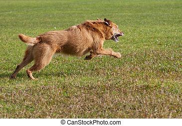 hund, in, der, feld, rennender