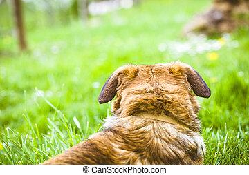 hund, in, gräs