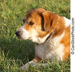 hund, junger hund, in, der, gras