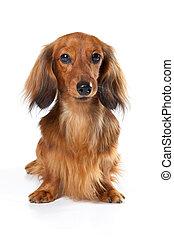 hund, langer, hintergrund., kanninchen, weißes, dachshund
