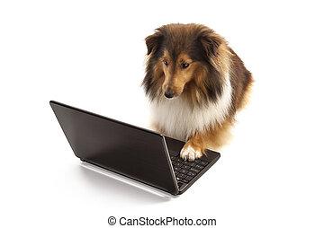 hund, laptop benutzend
