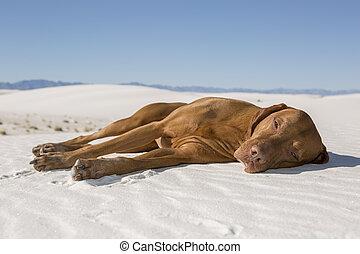 hund, liegende , in, wüste, sand
