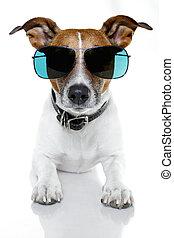 hund, med, rolig, solglasögoner
