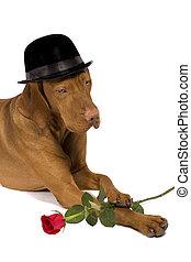hund, mit, hut, und, rose