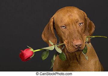 hund, mit, rose