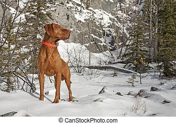 hund, muskulös, Zeigen, draußen