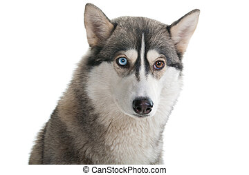 hund, på, en, hvid, baggrund.