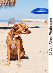 hund, på semester