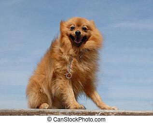 hund, pomeranian