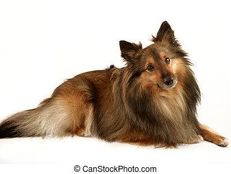 hund, porträt