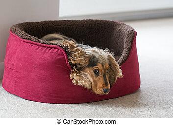 hund, säng,  spaniel, cockerspaniel, engelsk, lögnaktig