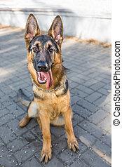 hund, schäferhund