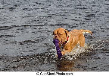 hund, schwimmender, mit, a, spielzeug