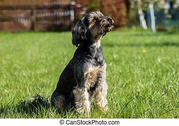 hund, spring, omkring, den, gård, hos, home., hem, djuren, på, a, bakgård, lawn.