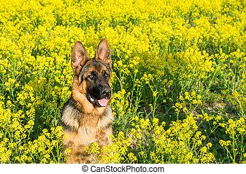 hund, tyska herde, sittande, på, den, fält, med, gul blommar