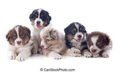 hundebabys, australischer schäferhund