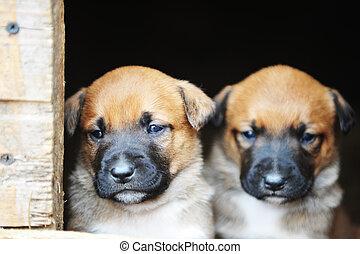 hundebabys, belgischer schäferhund, belgischer schäferhund