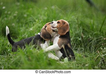 hundebabys, bezaubernd, zwei, spielende