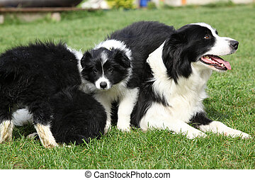 hundebabys,  Collie, umrandungen