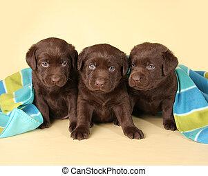 hundebabys, drei, Labor