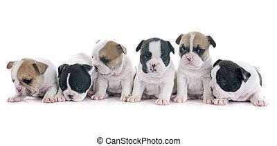 hundebabys, französische bulldogge