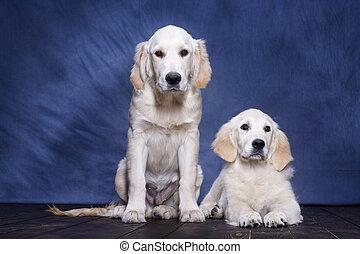 hundebabys, goldener apportierhund