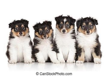 hundebabys, Gruppe,  shelti
