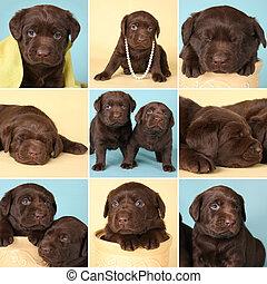 hundebabys,  labrador, Apportierhund